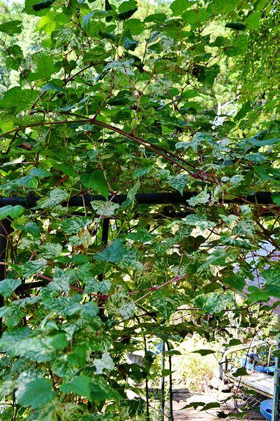 9,22斑入りノブドウ