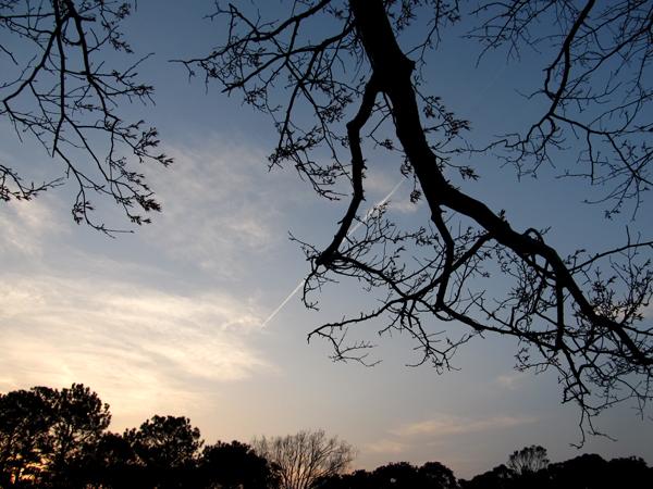 桜の木から飛行機雲が見える。3
