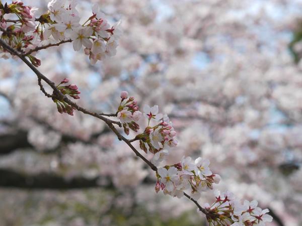 桜の枝から。