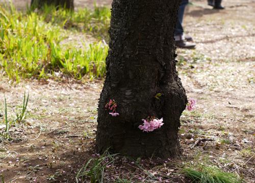 こんな所からも桜