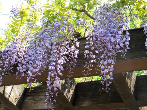 空から藤の花が降りてきた2