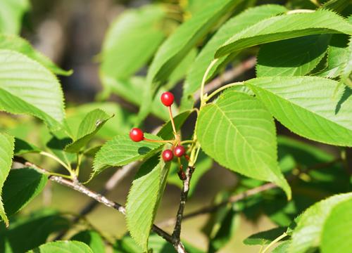 桜の紅い実2