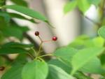 桜の赤い実