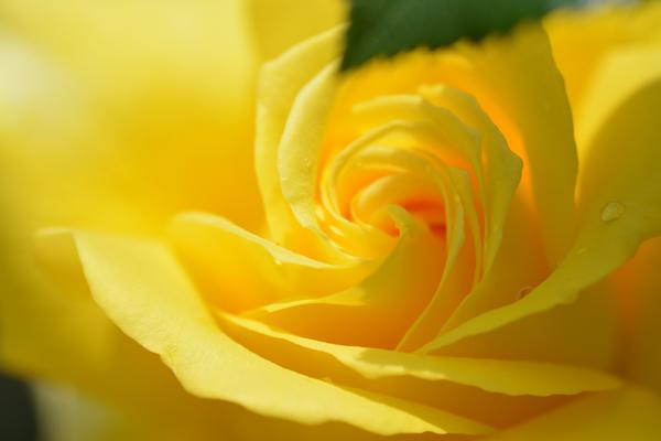 黄色の渦巻き