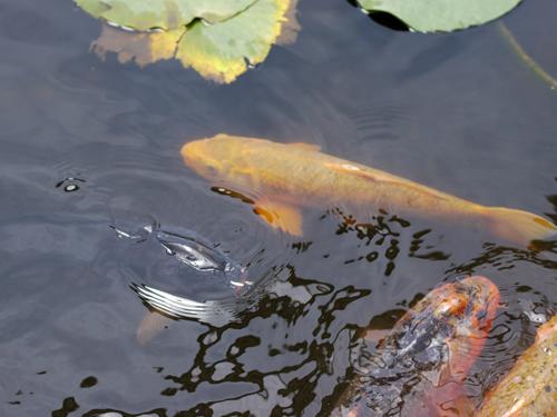 鯉が泳いでます。
