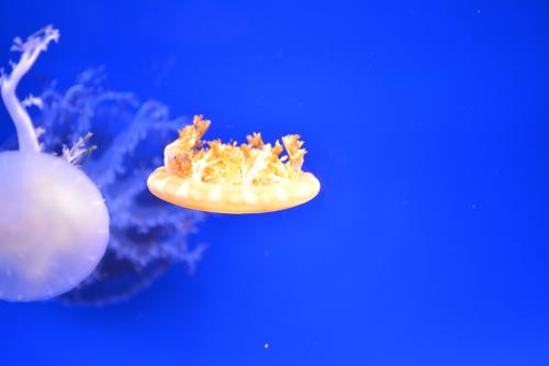 さかさクラゲ2