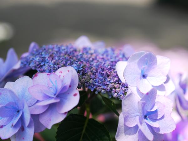 紫いろのアジサイ