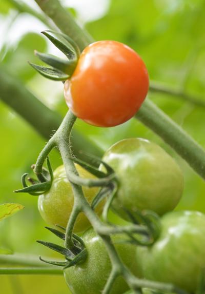 今日のミニトマト