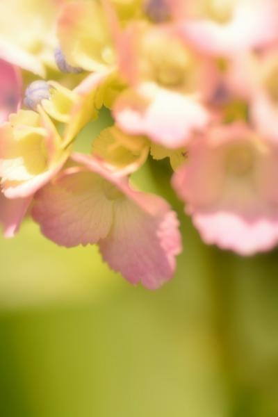 ピンクのアジサイ2