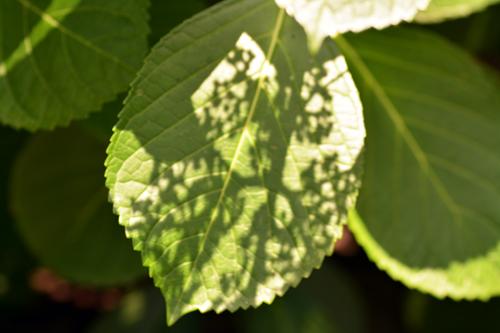 葉にうつるアジサイ