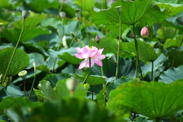 蓮の花が光って。