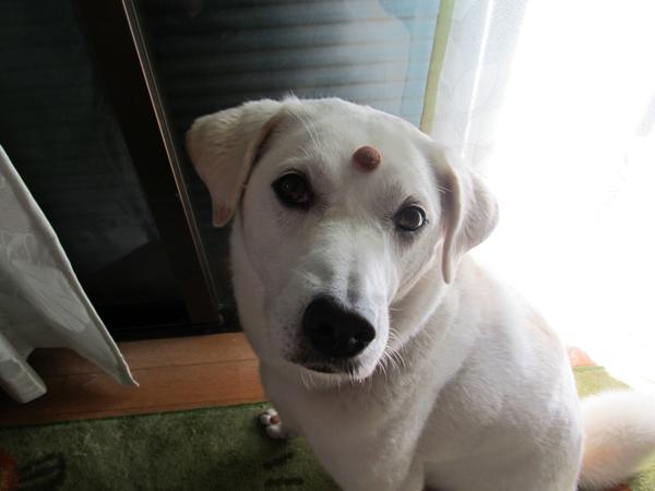 インドの犬2