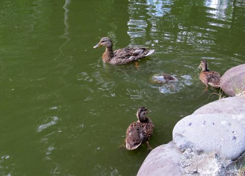 池で泳ぐカルガモ親子