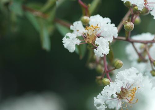 さるすべりの花?