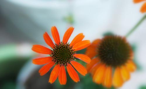 オレンジの花で