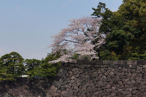 入口 石垣と桜