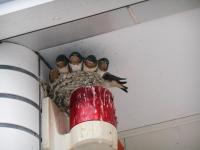 14.5.25 ツバメの巣