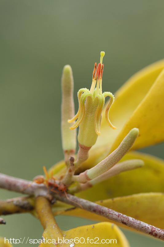 ヤドリギの花