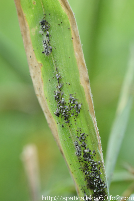 ゴイシシジミ幼虫