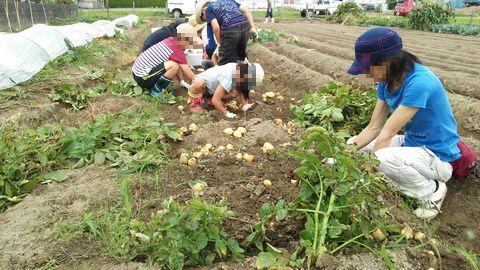 ジャガイモ収穫 初夏2014