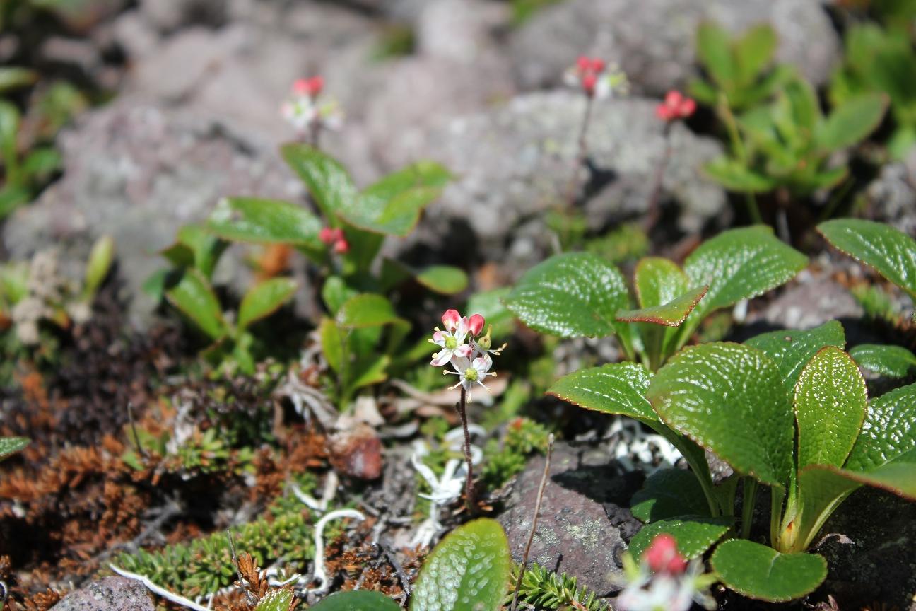 チシマツガ桜0002