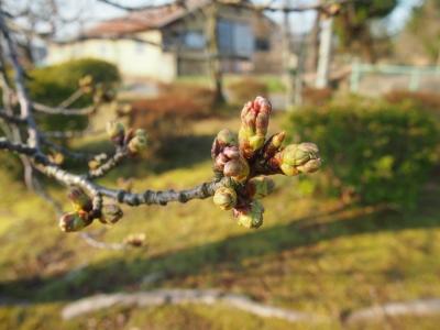 和倉温泉の桜