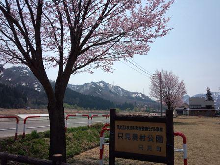 只見農村公園 桜