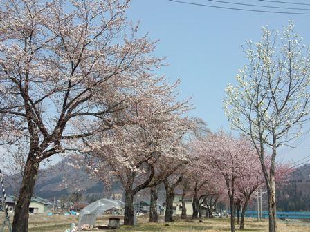 農村公園 近く桜