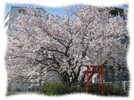 2014年4月1日桜
