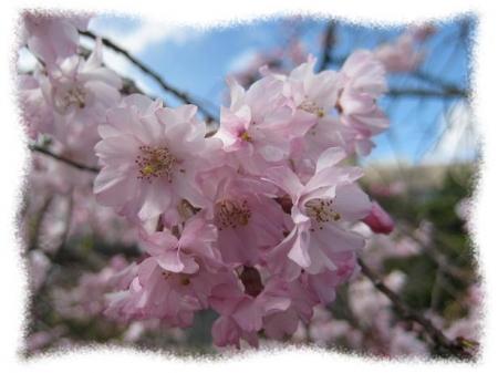 2014年4月4日桜