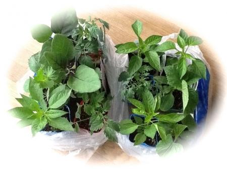 2014年4月19日夏野菜の苗