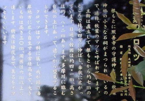 秋葉の黒松3