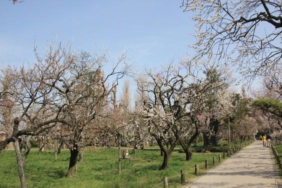 弘道館公園の梅の花
