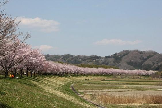 久慈川堤防の桜