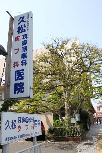 久松医院のクロガネモチ