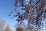 [2014-04-06]三橋公園の桜