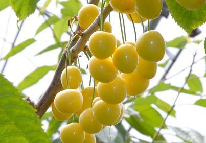 黄色いさくらんぼ