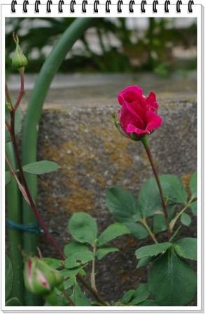 rose428 005