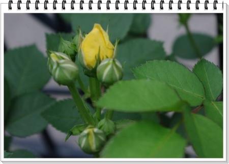 rose428 008