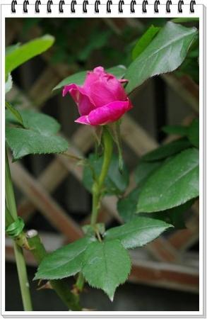 rose428 004
