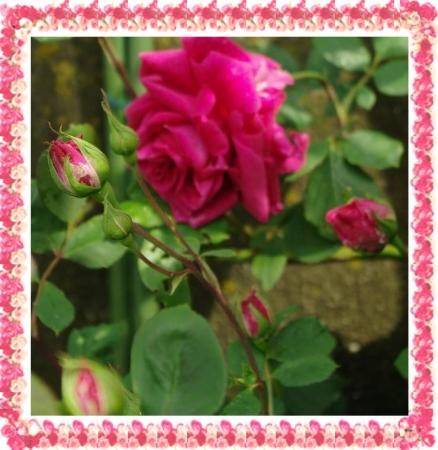 rose501 003