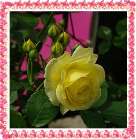 rose501 006