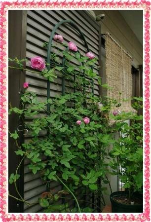 rose506 158