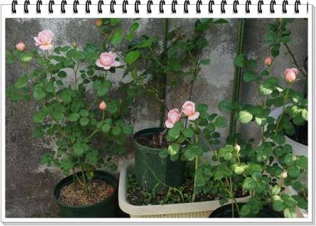 rose5010 003