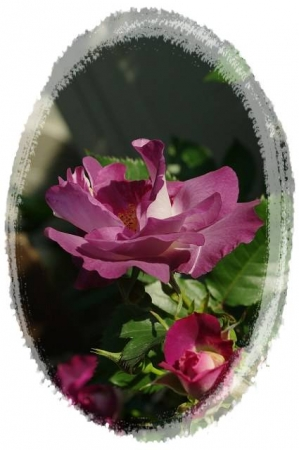 rose5010 013