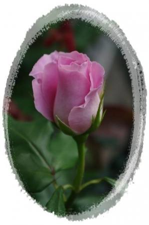rose5010 025