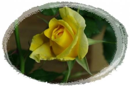 rose5010 030