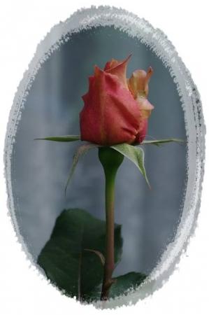 rose5010 041