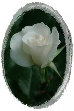 rose5010 043