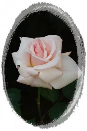 rose5010 070